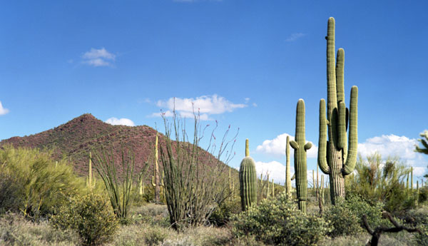 The Giant Saguaro Grows In Sonoran Desert This Is Second Largest North America Covering Parts Of California And Arizona Stretching